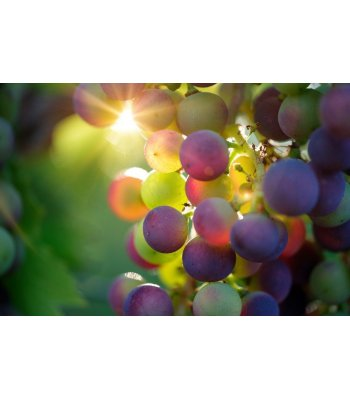 Grapes-A-Lot by Bulldog Vapor Concentrate